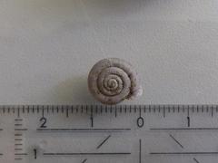 Image of Causa holosericea
