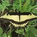 Papilio astyalus - Photo (c) javier_marquez, μερικά δικαιώματα διατηρούνται (CC BY-NC)