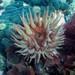 Urticina felina - Photo (c) Travis,  זכויות יוצרים חלקיות (CC BY-NC)