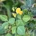 Rhynchosia minima minima - Photo (c) Troos van der Merwe, some rights reserved (CC BY-NC)