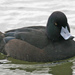 New Zealand Scaup - Photo (c) Michael Rosenberg, some rights reserved (CC BY-NC)