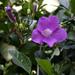 Bignonia aequinoctialis - Photo (c) Tony Rodd, some rights reserved (CC BY-NC-SA)