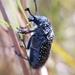 Rhipicera carinata - Photo (c) Steve Lofthouse, algunos derechos reservados (CC BY-NC)