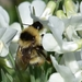 Cullum's Bumble Bee - Photo (c) Илья Сухов, some rights reserved (CC BY-NC)