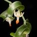 Asparagus asparagoides - Photo (c) C. E. Timothy Paine, algunos derechos reservados (CC BY-NC)