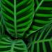 Goeppertia zebrina - Photo (c) Drriss & Marrionn, μερικά δικαιώματα διατηρούνται (CC BY-NC-SA)