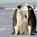Emperor Penguin - Photo (c) Martha de Jong-Lantink, some rights reserved (CC BY-NC-ND)
