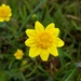 Lasthenia californica - Photo (c) Jamie Carter, algunos derechos reservados (CC BY)