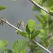 Alnus glutinosa - Photo (c) Simone Iacopino, algunos derechos reservados (CC BY-NC)