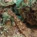 Gobio Semáforo - Photo (c) Programa Marino del Golfo de California, algunos derechos reservados (CC BY-NC-SA)