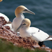 Boobies and Gannets - Photo (c) Klaus Riesner, some rights reserved (CC BY-NC)