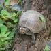 Tortuga Sabanera - Photo (c) Nicholas Sly, algunos derechos reservados (CC BY-NC)