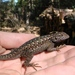 Sierra Fence Lizard - Photo (c) randomtruth, some rights reserved (CC BY-NC-SA)