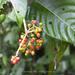 Psychotria grandis - Photo (c) Johannes, algunos derechos reservados (CC BY-NC-ND)