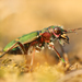 Cicindela campestris - Photo (c) Jiri Hodecek,  זכויות יוצרים חלקיות (CC BY-NC)