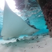 Ornate Eagle Ray - Photo (c) Tiff Bond, some rights reserved (CC BY-NC)