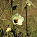 Hibiscus cannabinus - Photo (c) Wynand Uys, algunos derechos reservados (CC BY)