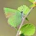 Callophrys rubi - Photo (c) Konstantin Samodurov, μερικά δικαιώματα διατηρούνται (CC BY-NC)