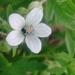 Geranium asiaticum - Photo (c) Павел Голяков, algunos derechos reservados (CC BY-NC)