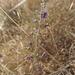 Chlorogalum purpureum purpureum - Photo no hay derechos reservados