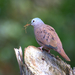 Ruddy Ground Dove - Photo (c) Dario Sanches, some rights reserved (CC BY-SA)