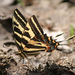 Tiger Swallowtails and Allies - Photo (c) AVEnturate Coahuila, some rights reserved (CC BY-NC)
