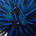 Echinothrix diadema - Photo (c) DavidR.808,  זכויות יוצרים חלקיות (CC BY-NC), uploaded by David R