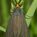 Ctenucha rubriceps - Photo (c) David Geale, algunos derechos reservados (CC BY-NC)