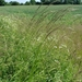 Tall Oat Grass - Photo (c) Sten Porse, some rights reserved (CC BY-SA)