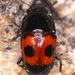 Glischrochilus sanguinolentus - Photo (c) Stuart Tingley, osa oikeuksista pidätetään (CC BY-NC)