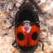 Glischrochilus sanguinolentus - Photo (c) Stuart Tingley,  זכויות יוצרים חלקיות (CC BY-NC)