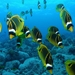 Butterflyfishes - Photo (c) Klaus Stiefel, some rights reserved (CC BY-NC)