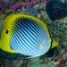 Chaetodon ocellicaudus - Photo (c) Klaus Stiefel, algunos derechos reservados (CC BY-NC)