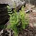 Cheilanthes sieberi - Photo (c) Third Silence Nature Photography, algunos derechos reservados (CC BY)