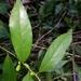 Symplocos naniflora - Photo (c) Leonardo Álvarez-Alcázar, algunos derechos reservados (CC BY-NC)