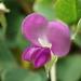 Grona triflora - Photo (c) 葉子, algunos derechos reservados (CC BY-NC-ND)