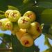 Syzygium samarangense - Photo (c) 葉子, algunos derechos reservados (CC BY-NC-ND)