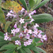 Bicolored Yerba Santa - Photo (c) annetcurran, some rights reserved (CC BY-NC)