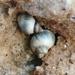 Melarhaphe neritoides - Photo (c) centaur, μερικά δικαιώματα διατηρούνται (CC BY-NC-ND)