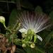 Barringtonia - Photo (c) Terry Gosliner, algunos derechos reservados (CC BY-NC-SA)