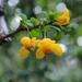 Berberis microphylla - Photo (c) Sarka Masova, μερικά δικαιώματα διατηρούνται (CC BY)
