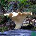 Cantharellus subalbidus - Photo (c) furtwangl, alguns direitos reservados (CC BY-NC)