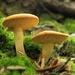 Hydnum umbilicatum - Photo (c) Kathie Hodge, algunos derechos reservados (CC BY-NC-SA)