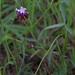 Trifolium willdenovii - Photo (c) avocat, algunos derechos reservados (CC BY-NC)