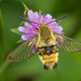 Narrow-bordered Bee Hawkmoth - Photo (c) Anne SORBES, some rights reserved (CC BY-NC-SA), uploaded by Anne Sorbes