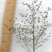 Lindheimer's Panicgrass - Photo (c) Chuck Sexton, some rights reserved (CC BY-NC)