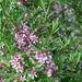 Prunus tenella - Photo (c) Sirpale79,  זכויות יוצרים חלקיות (CC BY)