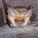 Murciélago Desértico Norteño - Photo (c) Ken-ichi Ueda, algunos derechos reservados (CC BY)