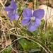 Viola rupestris - Photo (c) Amadej Trnkoczy, algunos derechos reservados (CC BY-NC-SA)
