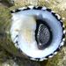 Nerita tessellata - Photo (c) Steven Mlodinow, algunos derechos reservados (CC BY-NC)